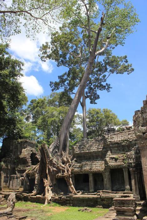 blog preah khan arbre 2