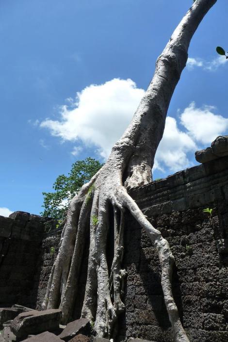 Blog preah khan arbre