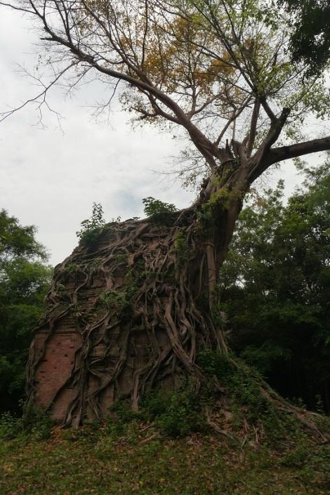 arbre-pousse-sur-temple-cambodge