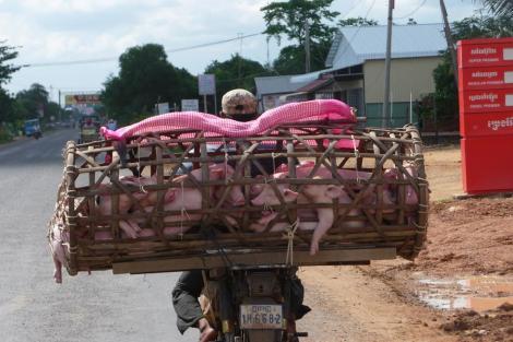 Transport en commun de cochons