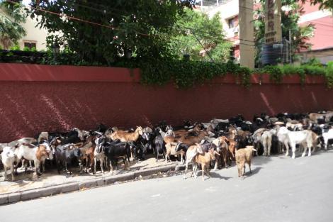 Blog Chèvres