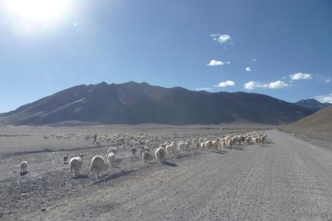 33-salut-les-moutons