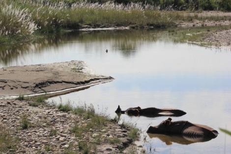 Deux rhinos dans l'eau