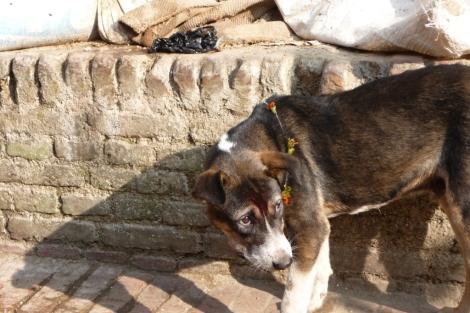 Un chien avec un collier de fleurs et uneTika sur le front, le verni!
