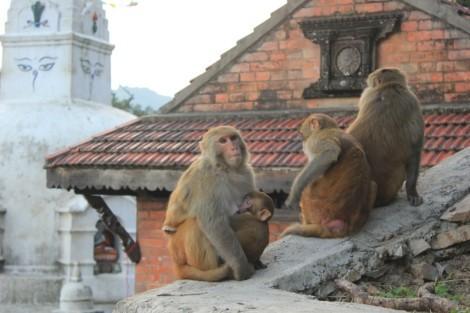 Ce temple s'appelle aussi Monkey temple. Allez savoir...